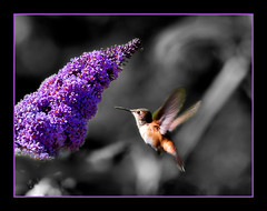 Through the leaves (~Dezz~) Tags: hummingbird purple action bokeh wildlife butterflybush selectivecolor naturesfinest canonef70200mmf4l masterphotos abigfave canoneos400d canondigitalrebelxti impressedbeauty