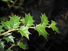 Rough Leaf Elm (Aphananthe philippinensis) (imbala) Tags: australiannative ulmaceae cannabaceae australianrainforesttree australianrainforestplants australianrainforesttrees aphananthe mullumcreeknursery roughleafelm aphananthephilippinensis nativeelm