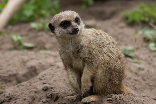 starts with the letter m specify winner lisby brown meerkat