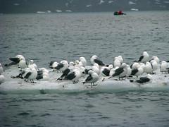 ice birds svalbard spitsbergen zodiacs claumoho scandihoovia gafflebreen