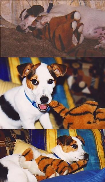 Jack's tiger