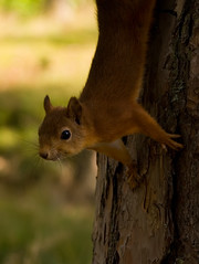 Lesser squirrel picture 6 (Tomi Tapio) Tags: cute helsinki squirrel iso400 ears whiskers orava seurasaari sciurusvulgaris sqrl eurasianredsquirrel kurre canonef90300mmf4556usm