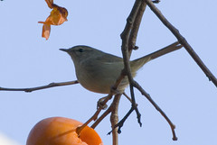 Bush Warbler And Persimmons (aeschylus18917) Tags: bird nature birds japan tokyo nikon feeding eating wildlife feathers aves   d200 persimmon  nerima edit warbler songbird kaki  80400mm nerimaku diospyros passeriformes 80400mmf4556dvr phylloscopus sylviidae japanesebushwarbler cettiadiphone diospyroskaki   cettia uguisu ebenaceae ericales 80400mmf4556vr bushwarbler  phylloscopidae leafwarbler danielruyle aeschylus18917 danruyle druyle