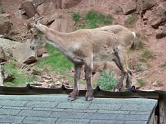 jeune capricorne sur le toit d'une maison
