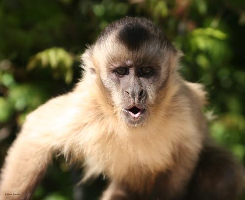 Série com o Macaco Prego (Cebus apella) - Series with the Capuchin monkey - 24-08-2008 - IMG_20080824_9999_112
