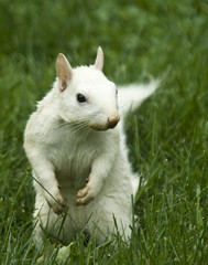 White squirrel (Conrad Kuiper) Tags: friends white squirrel searchthebest clinton 1001nights blueribbonwinner supershot addictedtoflickr bej abigfave platinumphoto anawesomeshot aplusphoto ultimateshot isawyoufirst citrit newacademy theperfectphotographer discoveryphotos 100commentgroup alittlebeauty pcobhuron