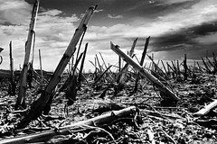 (Effe.Effe) Tags: blackandwhite bw blackwhite apocalypse harvest bn sunflower bianconero senigallia biancoenero girasoli quellocheresta theperfectphotographer
