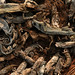 Benin - Voodoo Lizards