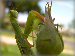 We come in Peace (*Underestimated*) Tags: green female bug alien prayingmantis pinchers