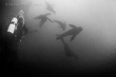 Swirling in the gloom (- drsteve -) Tags: bw white black cold water monochrome alaska mammal marine underwater scuba diving seven sealion drysuit swirling steller charismatic frenetic inian megafauna