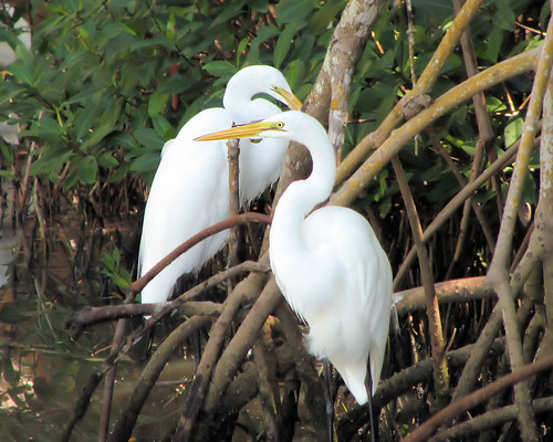 Two Egrets in mangrove