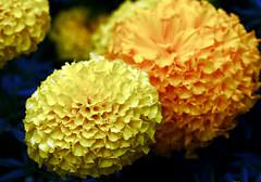 Bruce's Marigolds