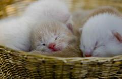 Cuddly Kittens (Domain Barnyard) Tags: pet cute animal animals cat furry babies little fuzzy adorable kittens precious tiny newborn awww cuties 2008 babyface tingey 7daysold domainbarnyard twtme canoneos40d 090508