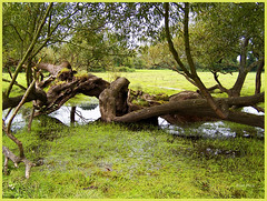Living Sculpture. (Picture post.) Tags: reflection tree green nature water landscape moss paysage