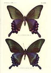 papill 8