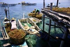 tumod (Farl) Tags: travel seaweed colors farmhouse boats commerce sale philippines farming platform bamboo bohol bato cottonii carrageenan spinosum mariculture harvests hingutanan bienunido dawahon