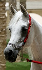 ~    ''    ~ (Creative_photography) Tags: horse white animal farm arabianhorse qatar aak missingyou althani