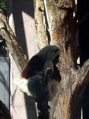 Philadelphia Zoo - Coquerel's Sifaka (fkalltheway) Tags: lemur madagascar philadelphiazoo sifaka pecoprimatereserve coquerelssifaka fkalltheway