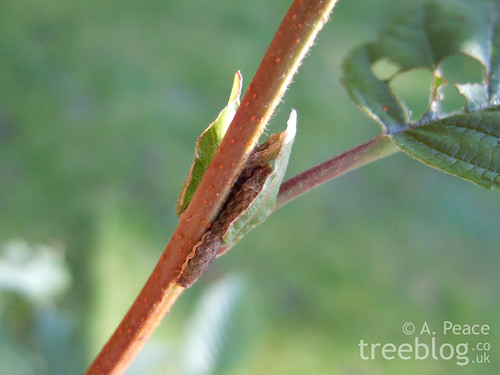 two caterpillars hiding between alder stipules