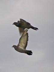 Pigeons in Flight (Brian Guest (giant rebus)) Tags: sky ontario canada nature birds flying wings pigeons pair markham naturelovers thewonderfulworldofbirds