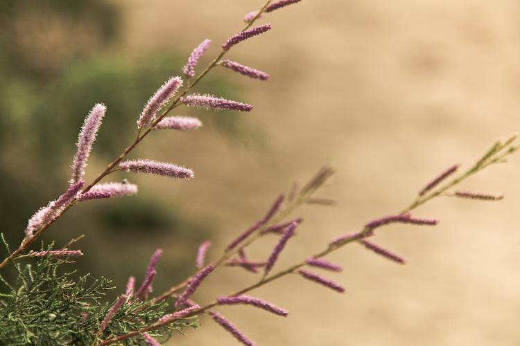 Juniper Blooms!?!2
