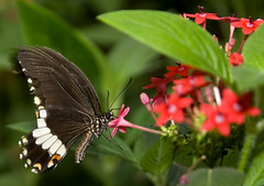 Common Mormon Butterfly (Theresa Elvin) Tags: butterfly sheffield tropical tropicalbutterflyhouse abigfave northanston sheffieldbutterflycentre