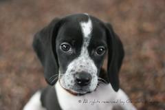 Lennon Portrait (PhotosGerardoMedina) Tags: blue dog white black blanco beagle canon puppy photos negro perro fotos stick lennon bicolor gerardomedina fotgrafopoblano photosgerardomedina