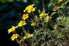 Hillside Flowers #2 (David Wilmot) Tags: travel flowers india holiday asia darjeeling westbengal queenofthehills jalapahar