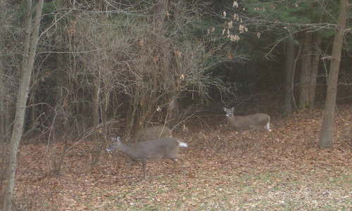 Deer in Kyle's Yard