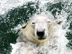 Polar bear (floridapfe) Tags: bear white water animal zoo korea polar splash soe kora everland  naturesfinest blueribbonwinner supershot mywinners platinumphoto anawesomeshot aplusphoto theunforgettablepictures alemdagqualityonlyclub polarbeat