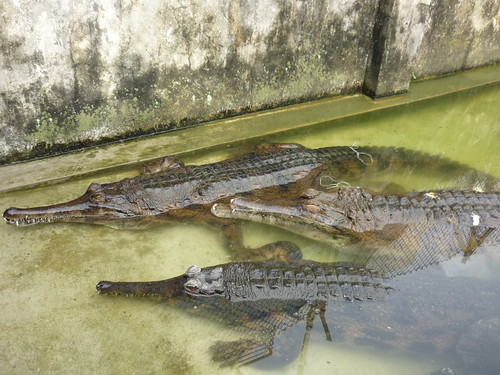 False gharial (Tomistoma schlegelii)