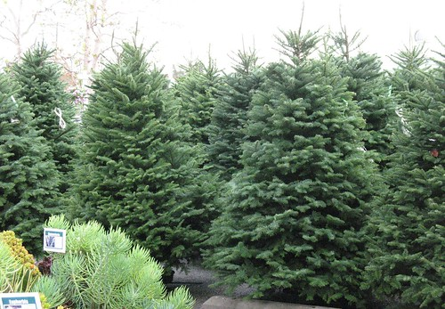 noble and grand firs christmas trees