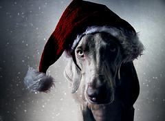 . c o l d (saikiishiki) Tags: santa christmas xmas blue winter red portrait dog chien holiday snow cold cute art texture love hat thanks by dark puppy season grey interestingness eyes warm heart artistic fuzzy sweet expression ghost gray hound adorable hond patient perro explore hund weimaraner kawaii expressive flakes seen tolerant perra inu omoshiroi weim cooperative wintery mukha vorstehhund 20f thelittledoglaughed jaiel waimarana