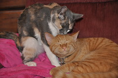 : P  &  ^_^ (snooglerat) Tags: sleeping red orange cats love cat eyes nap play kitty ears indoors calico