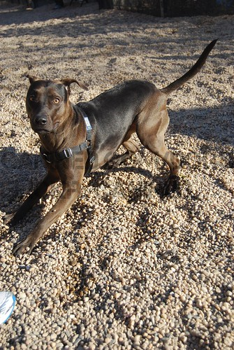 Brindle Catahoula Mix | Dog Breeds Picture
