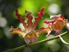 in the wild (Debi123 (taking a break)) Tags: orchids bokeh backlit roatan schomburgkia explored hbw happybokehwednesday tibicinis vosplusbellesphotos growinginthewild