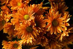 a little sunshine for the grey autumn days (ion-bogdan dumitrescu) Tags: flowers autumn orange sunshine bitzi ibdp mg0954 ibdpro wwwibdpro ionbogdandumitrescuphotography