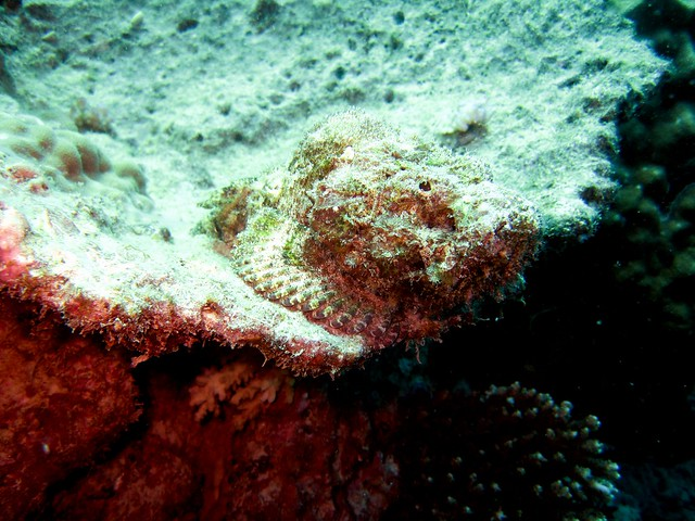 false stonefish2
