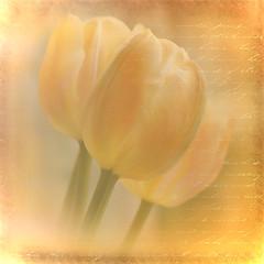 Warming Light (Brenda Boisvert) Tags: light flower colour texture warm tulips peach topshots excellentsflowers absolutegoldenmasterpiece artistictreasurechest