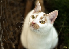 My buddy Beckett. ({katesea}) Tags: white cat 50mm ginger bokeh kitty beckett d90 nikond90