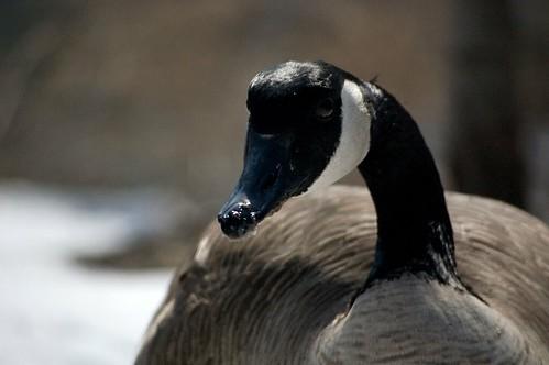 Geese flirt?