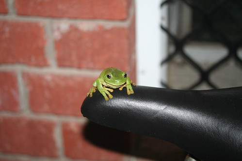 Litoria caerulea Green Tree frog on Hugh's bike