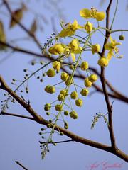 Happy Vishu (.....) Tags: flowers yelow d40 goldenshowertree bahava kanikonna