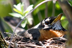 what you lookin' at? (Chimpr) Tags: bird robin canon nest portdalhousie 40d