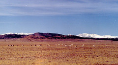 Antelope in South Park, CO.bmp (Joana Roja - work and migraines - coming back..) Tags: mountains animals colorado southpark antelope