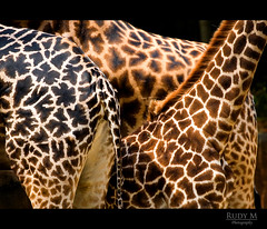 Everyone's Different (Rudy M Photography) Tags: canon zoo la mar losangeles giraffes giraffe masai rothschilds losangeleszoo 30d 70200mm 5photosaday mywinners abigfave giraffemarkings aplusphoto theunforgettablepictures giraffespots betterthangood