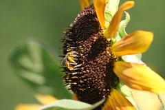 IMG_3546 (Blackavar Lion) Tags: flowers flower macro closeup insect bokeh bee sunflower bloom abeja insekt tournesol abeille girasol bij insecte biene  sonnenblume zonnebloem insecto hymenoptera       apoidea   canonrebelxti  anthophila  2be2176f59cfac7c3f99b44a73b29c9b