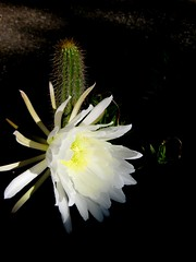 Cactus bloomed during the night. Which ones do you like? (Bionic Rhonda, back slowly) Tags: flower earlymorning cactusbloom nightbloom cindersmom 4camerasused toooomanyphotostaken youmakethechoiceofwhatyoulike
