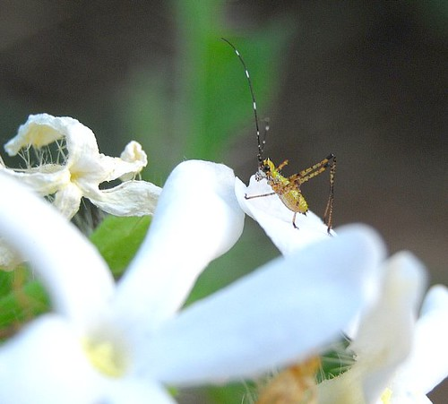 Tiny Bug On A White Flower
