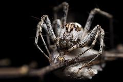 lynx spider guarding her eggs (Mundo Poco) Tags: macro canon spider arachnid rebelxt eos350d lynx mpe 65mm focusstack oxyopidae lynxspider specinsect combinezm